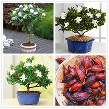 Buy  enia seeds) smell Fragrant for home garden  online