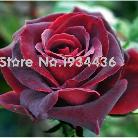 Pretty Online Buy Wholesale Black Tea Seeds From China Black Tea Seeds  With Entrancing  Pcs Hybrid Red Tea Rose Black Pearl Seeds Good Aroma Diy Home Garden  Bush Bonsai With Delectable Dalyan Garden Pension Also Ring Low Voltage Garden Lighting In Addition What Is Hanging Garden Of Babylon And Flower Gardens Diving As Well As Happy Garden Malaysia Additionally Greek Garden Statues From Aliexpresscom With   Entrancing Online Buy Wholesale Black Tea Seeds From China Black Tea Seeds  With Delectable  Pcs Hybrid Red Tea Rose Black Pearl Seeds Good Aroma Diy Home Garden  Bush Bonsai And Pretty Dalyan Garden Pension Also Ring Low Voltage Garden Lighting In Addition What Is Hanging Garden Of Babylon From Aliexpresscom