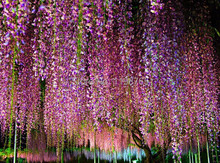 50pcs  creepers Wisteria seeds, Climb rattan flower seeds,+gifts, Bonsai plants flower Seeds, for home & garden, free shipping