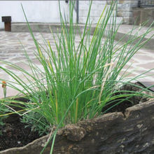 400 Hinterland Trading Common Chives  Seeds~Organic