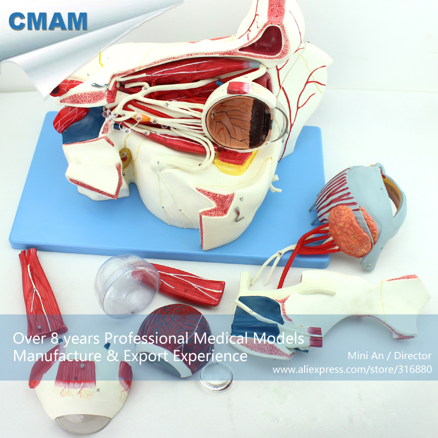 12528 CMAM-EYE04 9-Parts Eyeball and Orbit with Vessels and Nerves
