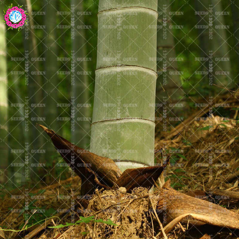 Prezzo basso! 40 pz/borsa Rare Gigante di Bambù S Spirale Arrampicata Pianta Acquatica Bonsai Albero Sempreverde S In Vaso Per La Casa Giardino