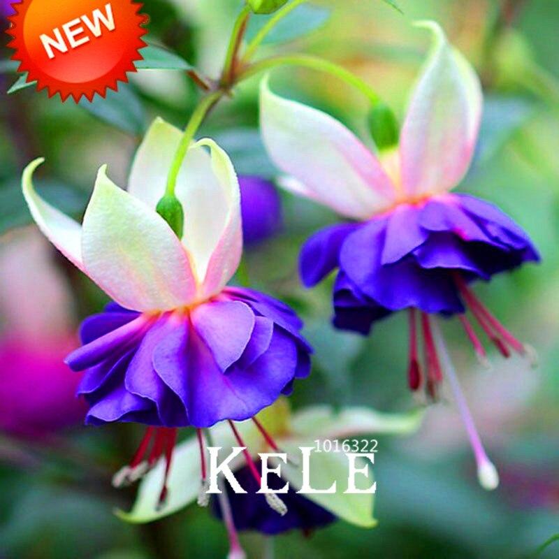 New 2018pink purple bell flowers fuchsia bonsai potted flower aeproducttsubject mightylinksfo