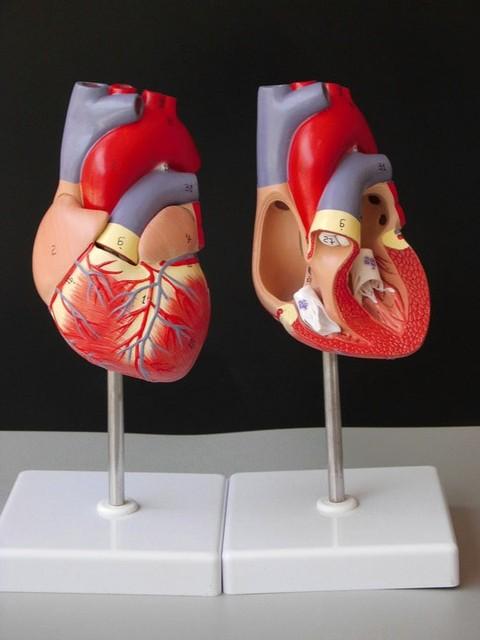 Medizinische menschlicher schädel skeleton anatomisches modell ...