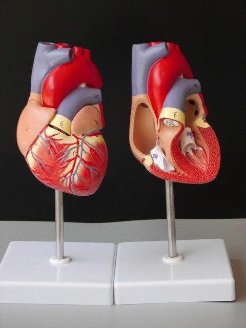 medical human skull skeleton anatomical model DELUXE HEART ANATOMY ...