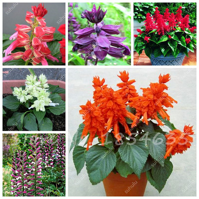 30 pcsbag ornamental flower salvia splendens seeds tropical flower seeds indoor plants radiation protection
