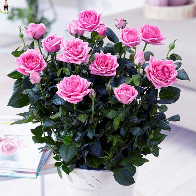 Sale 100 pcs Rose Bonsai Perennial Rose Flowers Indoor Bonsai Flower Rose Tree Fragrant Climbing Plants For Home Garden Planting
