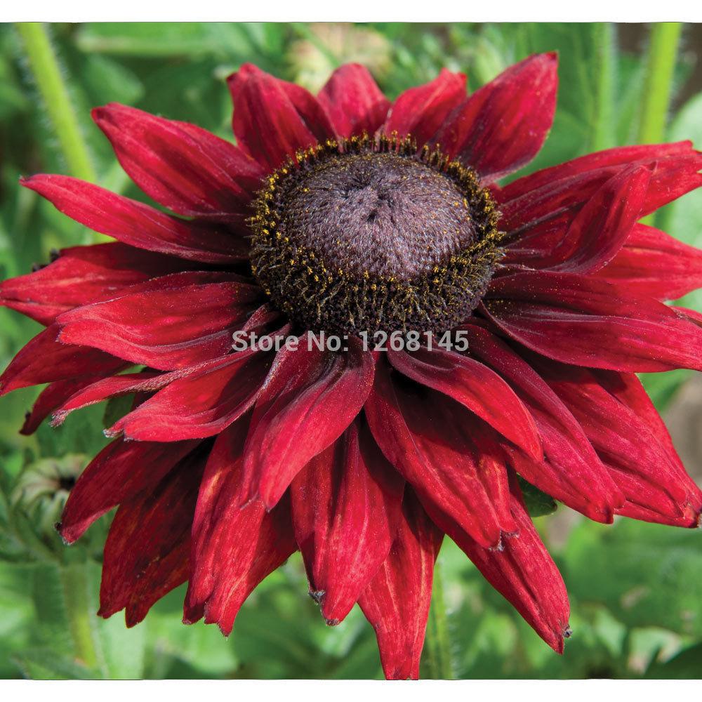 Rare Flower100pcs Rudbeckia Hirta Coneflower Black Eyed Susan