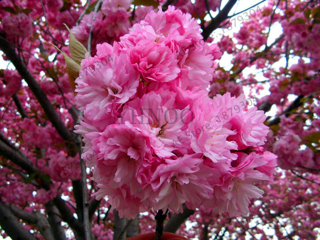 Bonsai Tree Anese Sakura Garden Rare Cherry Blossoms Pink Flowers Flores In Indoor Plant Tree15s