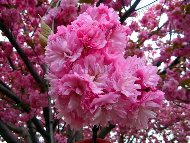 Lowest Price Bonsai Tree Anese Sakura Garden Rare Cherry