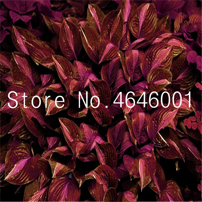 100 Pcs Bonsai Hosta Plants Mixed Bonsai Jardin Perennials Lily