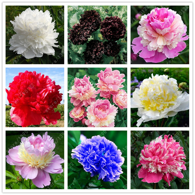 10 pcsbag double blooms peony seeds heirloom sorbet robust peony 10 pcsbag double blooms peony seeds heirloom sorbet robust peony yellow bonsai flower seeds mightylinksfo