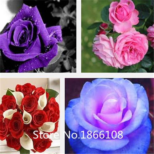 home & garden Free shipping 100 Seeds Rare Holland Rainbow Rose Flower Lover Multi-color Plants Home Garden rare rainbow rose fl
