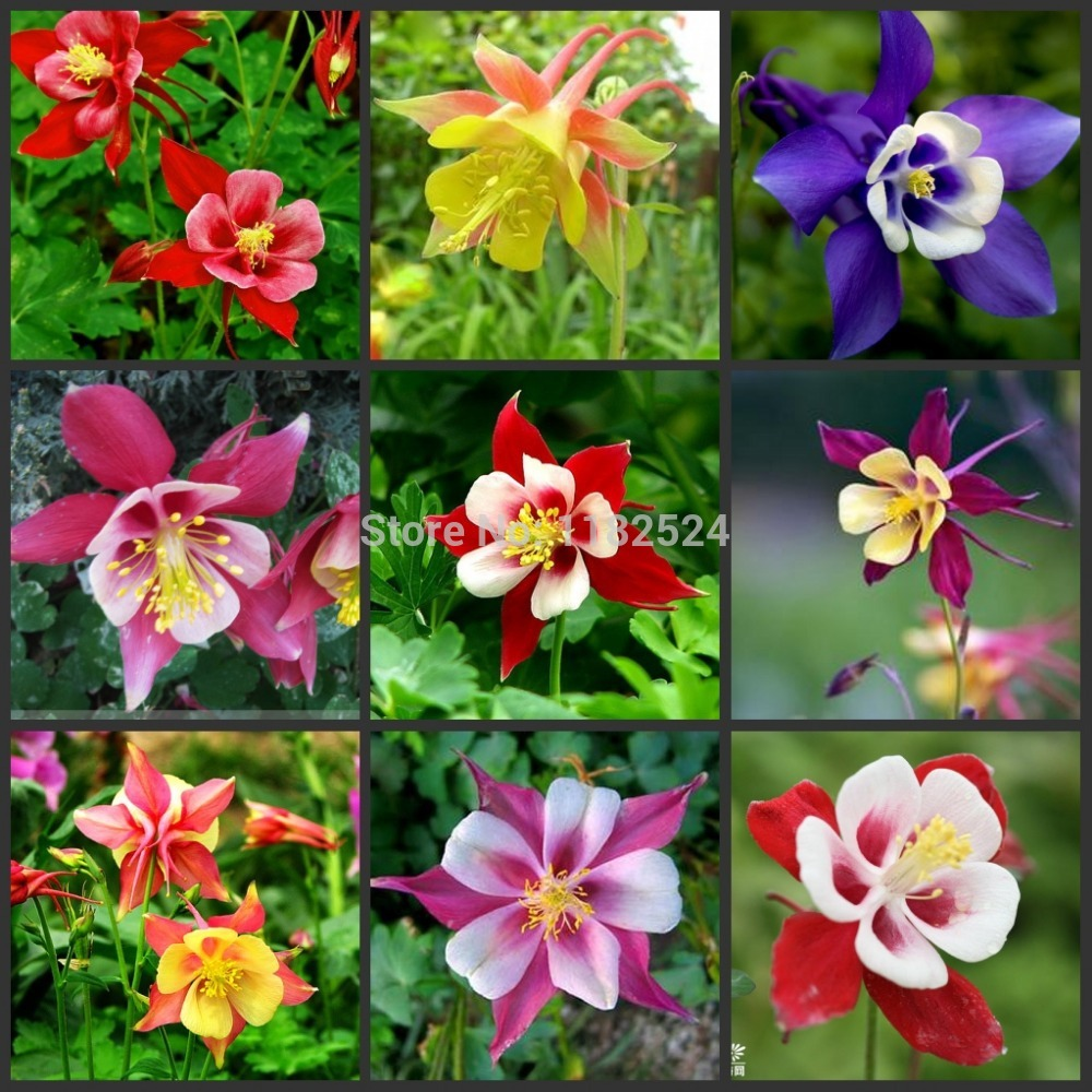 50pcs columbine flower seeds easy grow in bonsai from home 50pcs columbine flower seeds easy grow in bonsai from home garden on aliexpress alibaba group izmirmasajfo