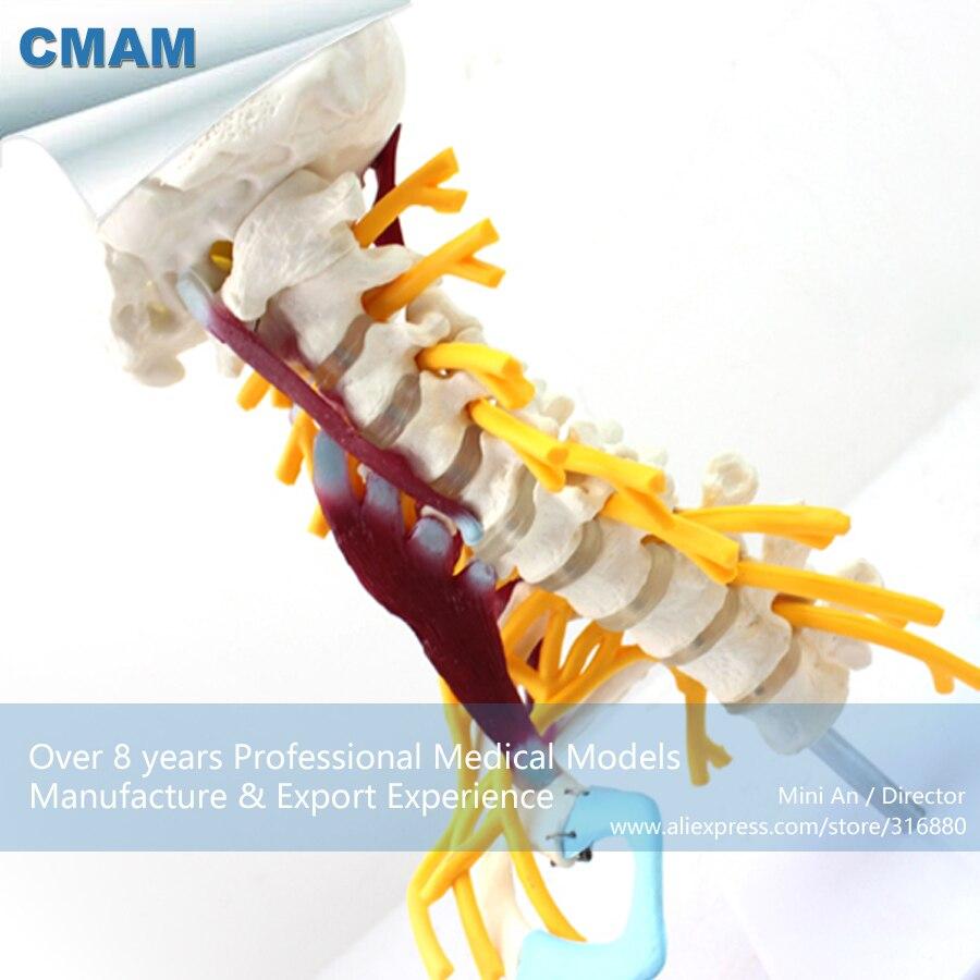 12462 CMAM ANATOMY24 Life Size Anatomy Model Female Perineum on ...