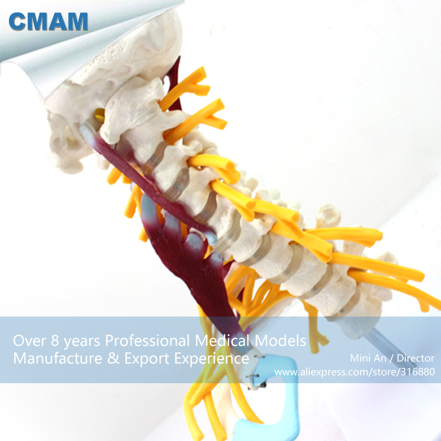12385 CMAM-VERTEBRA02 Human Cervical Vertebral Column Deluxe Skeleton Model, Medical Science Teaching Anatomical Models cmam spine11 human vertebral column w half femur highly detailed model medical science educational teaching anatomical models