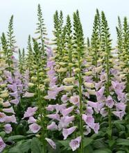 20 шт. импорт американский семена цветов элегантный лесной сад чистый белый наперстянка наперстянка пурпурная альба