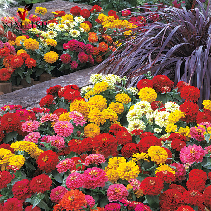 Dwarf zinnia flower seeds, zinnia mini 7colors mixed Bonsai potted flower seeds, Rare plant seeds for Home garden 50pcs/bag