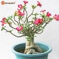 Adenium Obesum Desert Rose Sementes de Flores Em Vasos Sementes de Cor Opcional 100% Tiro Em Espécie Verdadeira Semente 1 Partículas/lot