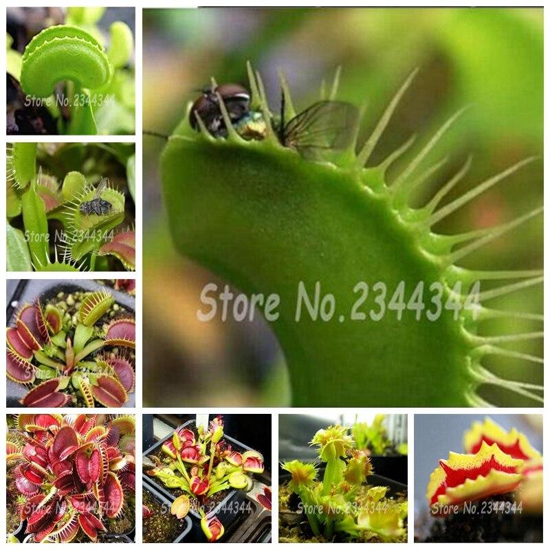 300 Pcs Garden Potted Flytrap Bonsai Dionaea Muscipula Giant Clip Venus Flytrap Terrace Garden Carnivorous Plant Bonsai Decor