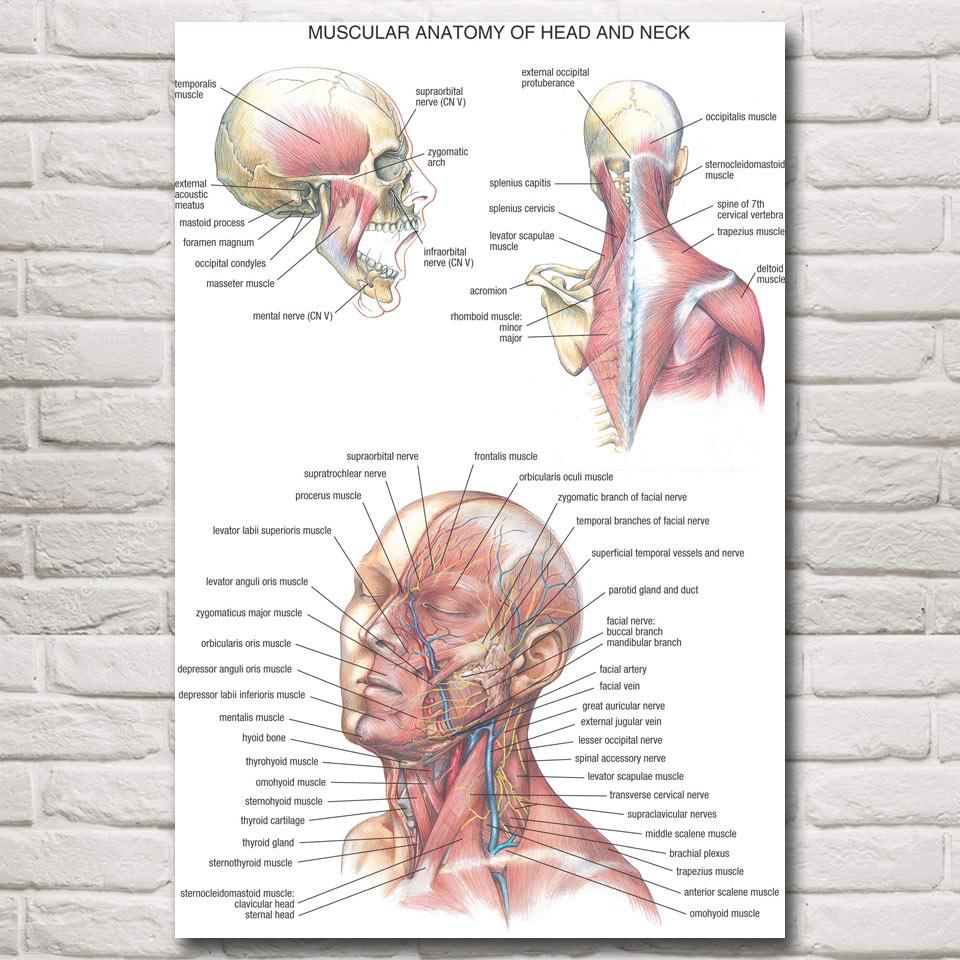 Berühmt Kopf Hals Anatomie Galerie - Menschliche Anatomie Bilder ...