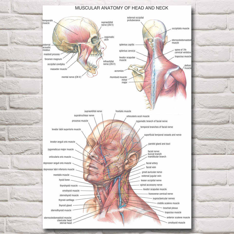 FOOCAME медицинская Анатомия мышцы голова шеи плакаты и принты шелковые художественные настенные картины украшения дома картины гостиной