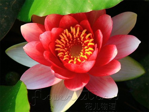 20 seedsflame red lotus flower seeds gorgeous aquatic plants label 20 seedsflame red lotus flower seeds gorgeous aquatic plants label lotus18 mightylinksfo