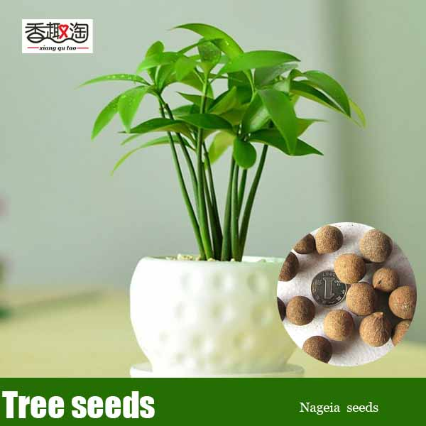 5pcs Evergreen Tree Nageia Seeds, Family green Ornamental Plant ...
