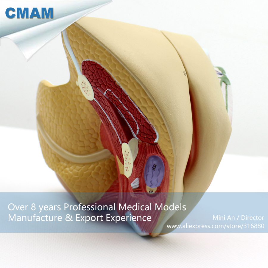 12446 CMAM-ANATOMY08 Life Size Female Pelvic Organ Section Anatomical Model, 4 Parts, Anatomy Models > Pelvis Models > Female 12461 cmam anatomy23 breast cancer cross section training manikin model medical science educational teaching anatomical models