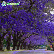 Jacaranda Mimosifolia 20pcs Blue Purple Tree Seeds