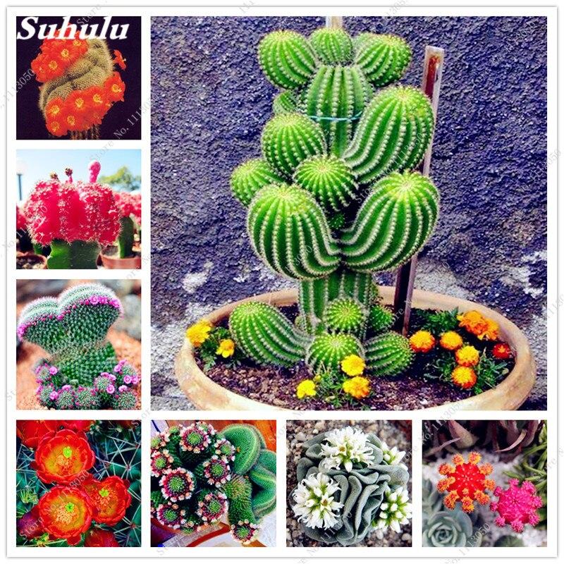 100 шт. суккулент кактус семена Lithops цветок Карликовые деревья Epiphyllum семена Красота ваш двор DIY растение домашний сад