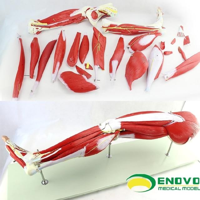 Medizinische menschlichen untere extremität muscle anatomie modell ...