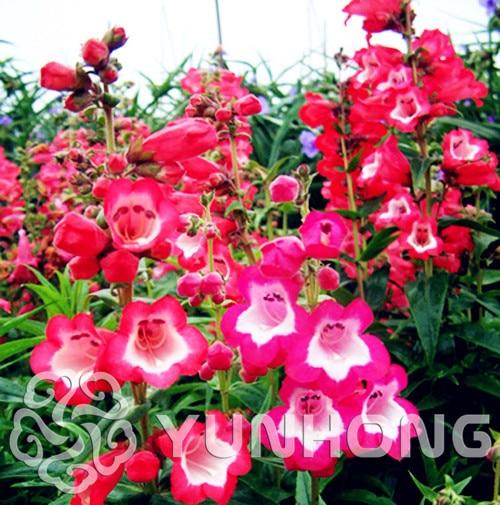 e8c06902875 100 шт. штук Lvory красный цветок Семена сад Терраса Lvory красный  Карликовые деревья цветы и растения редкий цветок Лили завода