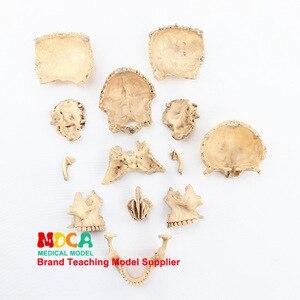 Image 5 - 1:2 Lifesize Human Skull Model True colors Medical teaching equipment 15 Parts Anatomical Anatomy Skeleton Model
