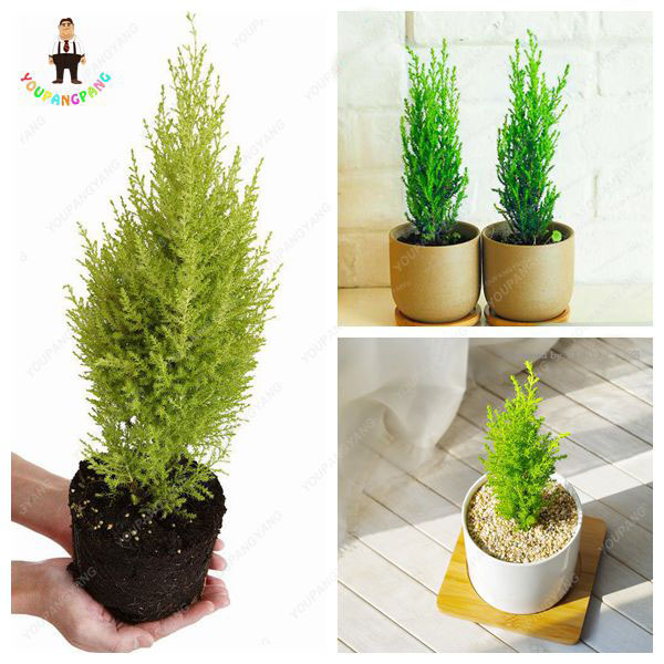 Online Get Cheap Hardy Indoor Plants -Aliexpress.com | Alibaba Group