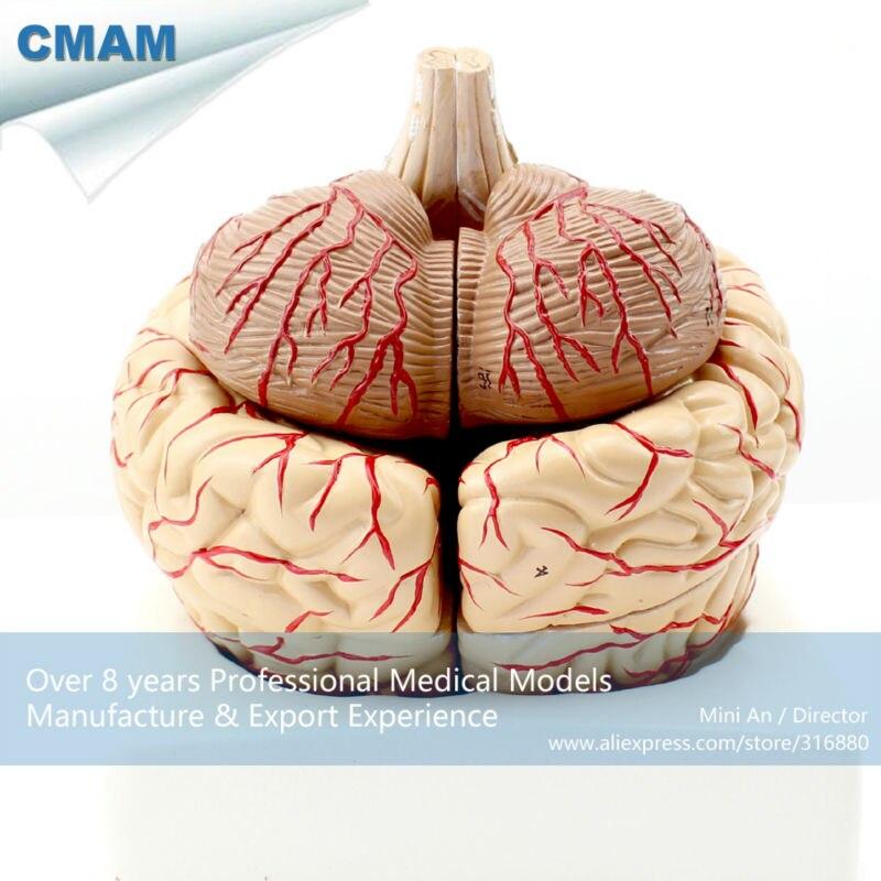 12404 CMAM-BRAIN07 Leben Größe Menschliche Gehirn mit Arterien-9 ...