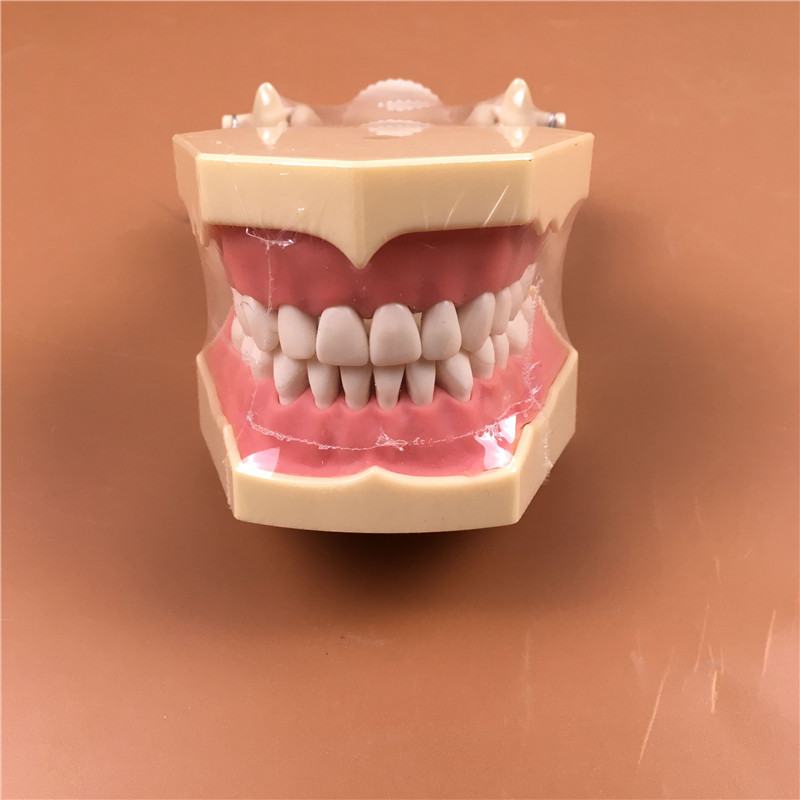 1pc SF Type Study Model teeth models Teeth Jaw Models for dental school teaching dentist dental teeth Models hot teeth development models teeth and jaw development model dental teeth models