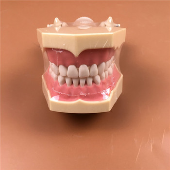 1pc SF Type Study Model teeth models Teeth Jaw Models for dental school teaching dentist dental teeth Models lower jaw of adult dentition model teeth dental model