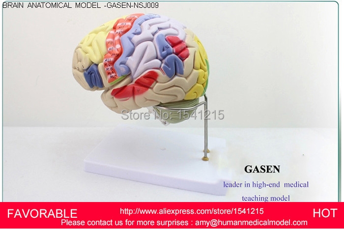 HEAD WITH VESSELS MEDICAL,ANATOMY MODELS,BRAIN MODELS,BRAIN MODEL MEDICAL TEACHING SUPPLIES,BRAIN ANATOMICAL MODEL-GASEN-NSJ009 economic half head with vessels model anatomical head model with brain nerves vascular muscles and vessels