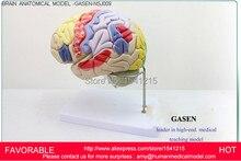 HEAD WITH VESSELS MEDICAL,ANATOMY MODELS,BRAIN MODELS,BRAIN MODEL MEDICAL TEACHING SUPPLIES,BRAIN ANATOMICAL MODEL-GASEN-NSJ009