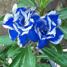 5pcs/bag Desert Rose Seeds Blue with White Side Garden Home Bonsai Balcony Flower Adenium Obesum Seeds