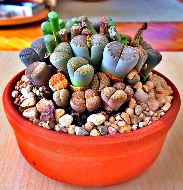 100 seeds Lithops Pseudotruncatella Living Stone Rare Succulent Seeds Home Garden Plant seeds free shipping