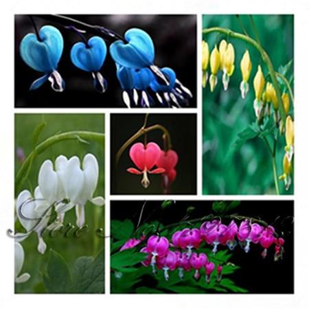 100 pcs BLUE Dicentra Spectabilis Seeds Bleeding Heart Classic Cottage Garden