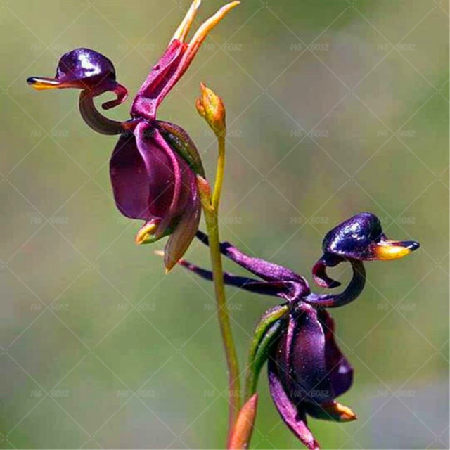 Rare Japanese monkey face orchid DIY home garden plants pot bonsai flowers  200pcs man orchid Multiple varieties