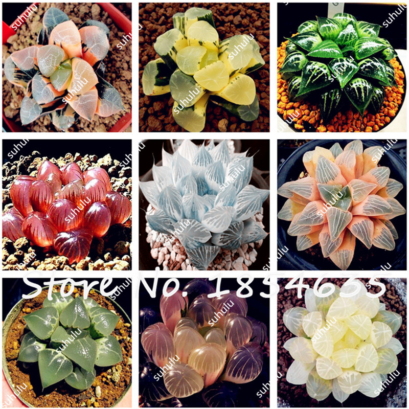 Free Shipping 50Pcs Green Succulent Plants Lithops Seeds Ornamental Bonsai  DIY Indoor Home Garden Plants Flower Pots Planters  In Bonsai From Home U0026  Garden ...