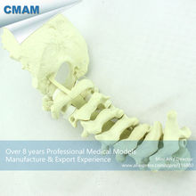 CMAM-TF11 Normal Anatomy Orthopaedic Models Cervical Spine with Occipital