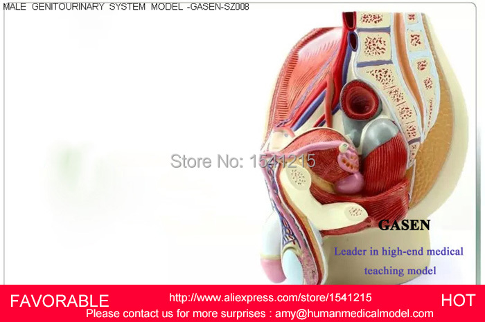MALE/FEMALE REPRODUCTIVE SYSTEM MODEL ANATOMY OF THE MALE ...