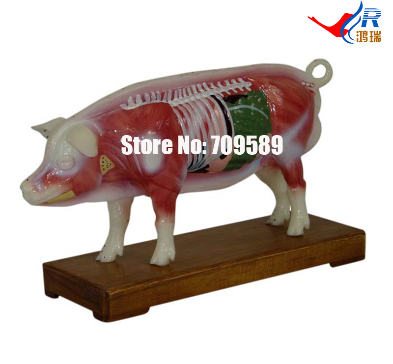 Pig Acupuncture Model, Animal Acupuncture Model 22cm head acupuncture point model head acupuncture four function model acupuncture model