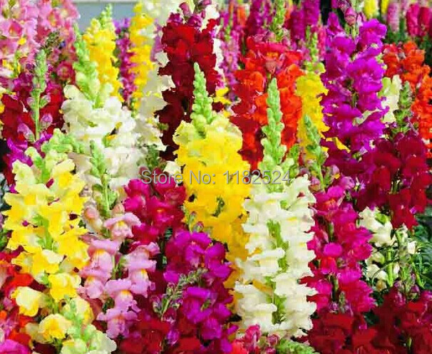 100pcs Antirrhinum majus seeds Common font b snapdragon b font flower seeds colorful flowers Garden Home