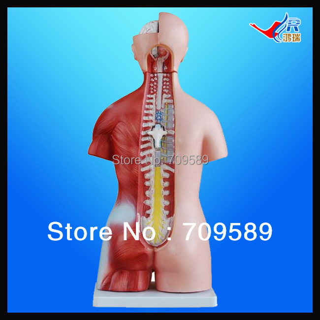 ISO 45CM Unisex Torso with Internal Organs23 Parts, Anatomy Torso model